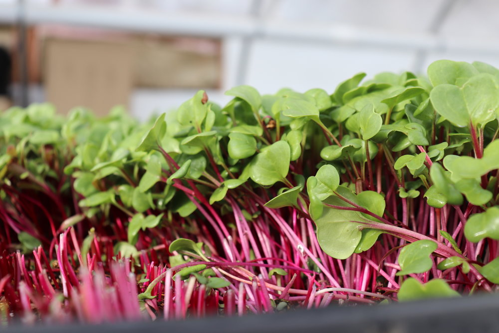 Radish microgreens with brilliant color add flavor and nutrients to our rainbow blend.