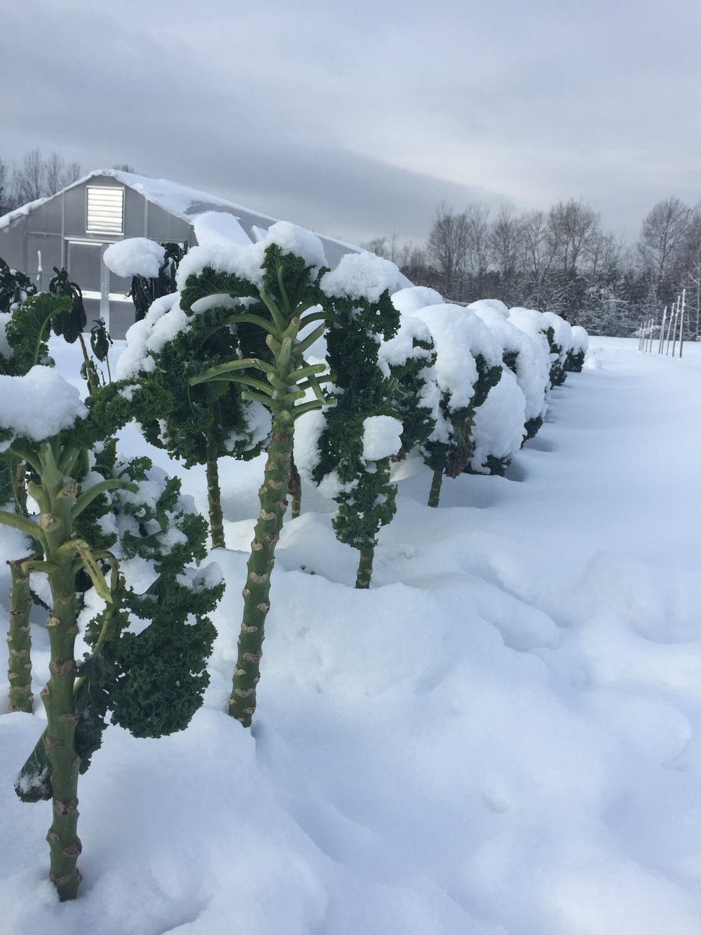 Winter kale after a snow storm