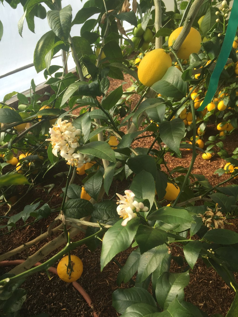 Meyer Lemons at Angel Wing Farm