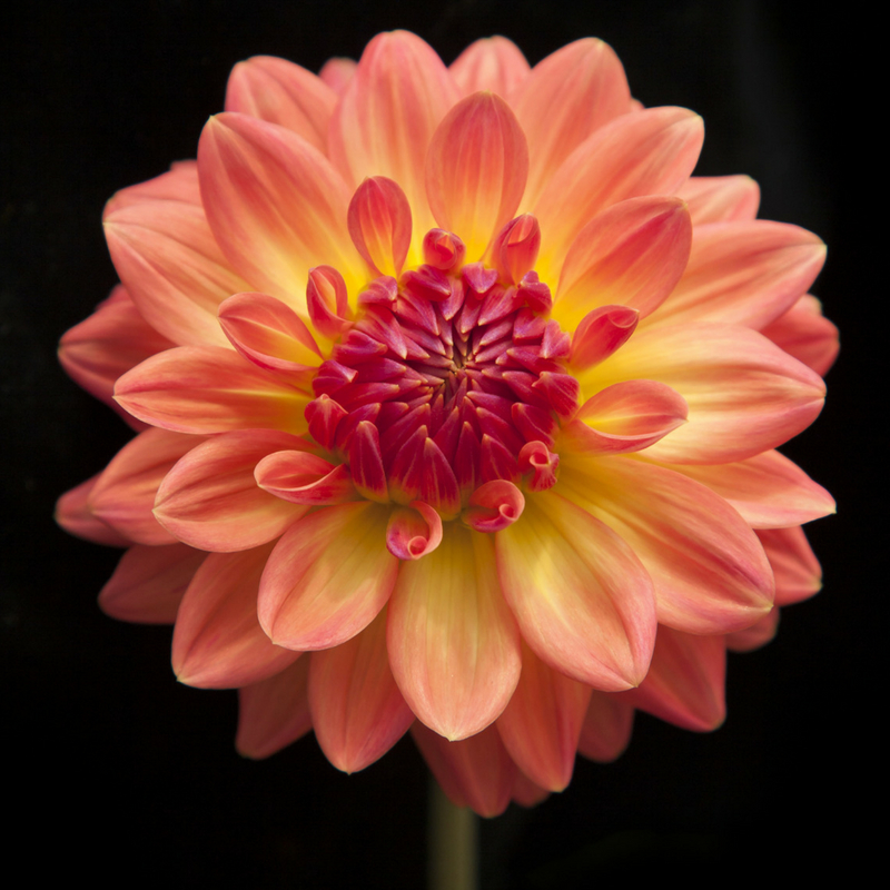 Q VIRGINIA Chrysanthemum.jpg