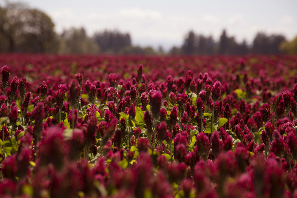 Close View Crimson Red Clover Meadow, Field, Farm with Trees, Blue Skies in Background, Daytime, Use with Text Copy Space Overlay