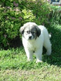 "AKC Mill Creek Guardian Samantha Sue ""Sammy"" as a puppy."