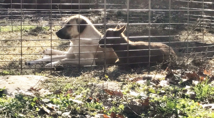 Salem enjoying the sun with her goats.