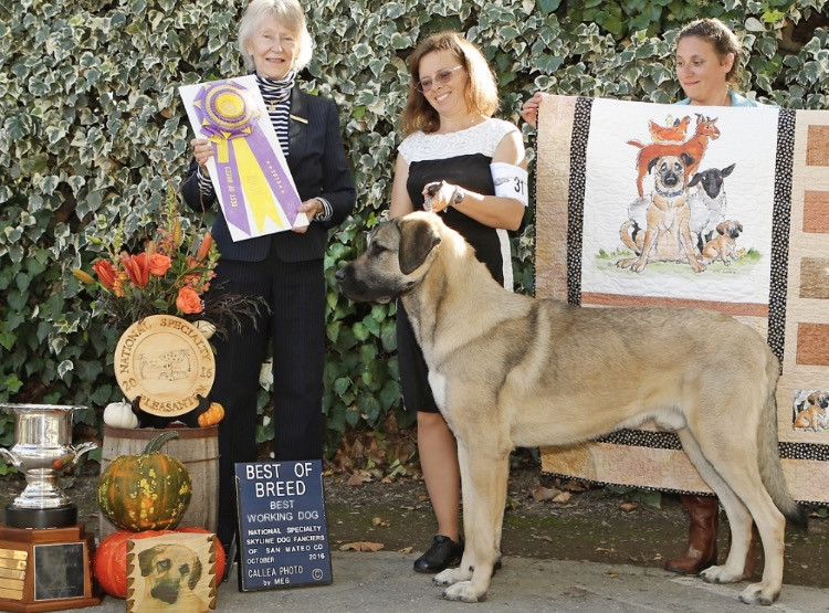 Puck at his Best of Breed win at the 2016 National Specialty.