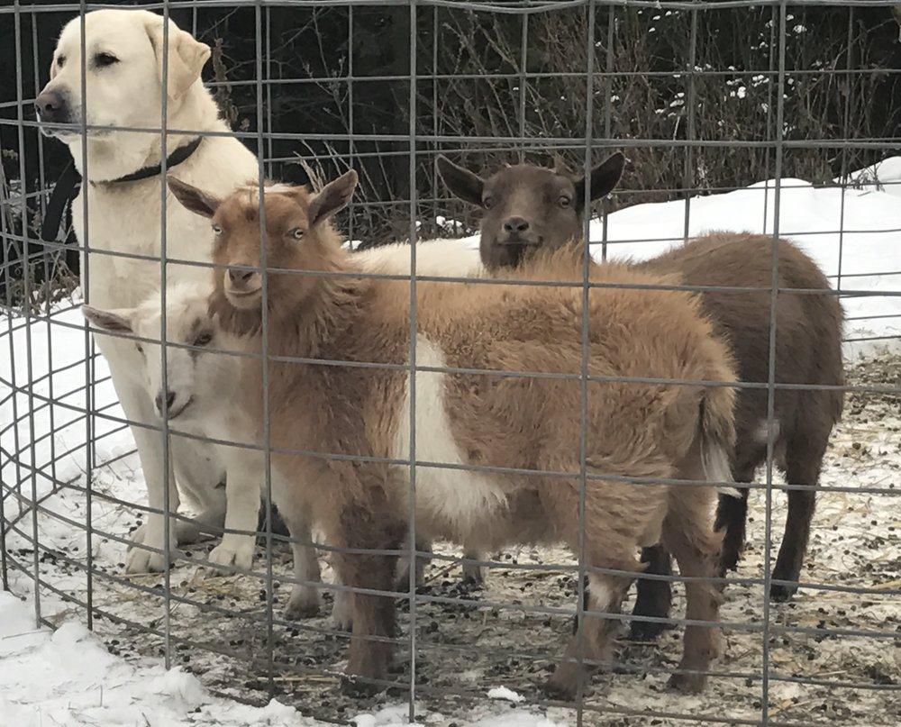 Kaya guarding her goats.