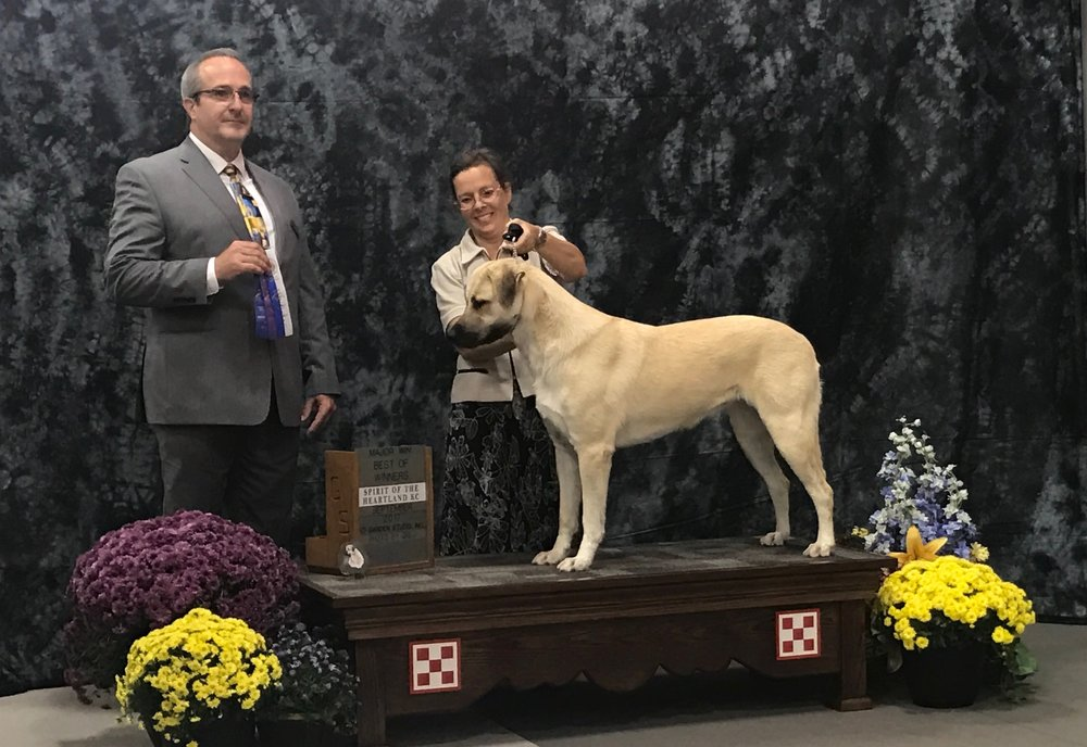 Wicked, 23 months old, winning Best of Winners at the 2017   National supported entry. Who says working dogs can't show? And win!