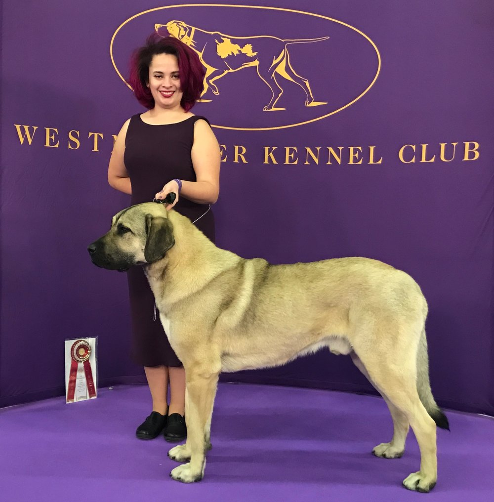 Puck won BOS at Westminster 2017, just 22 months old.