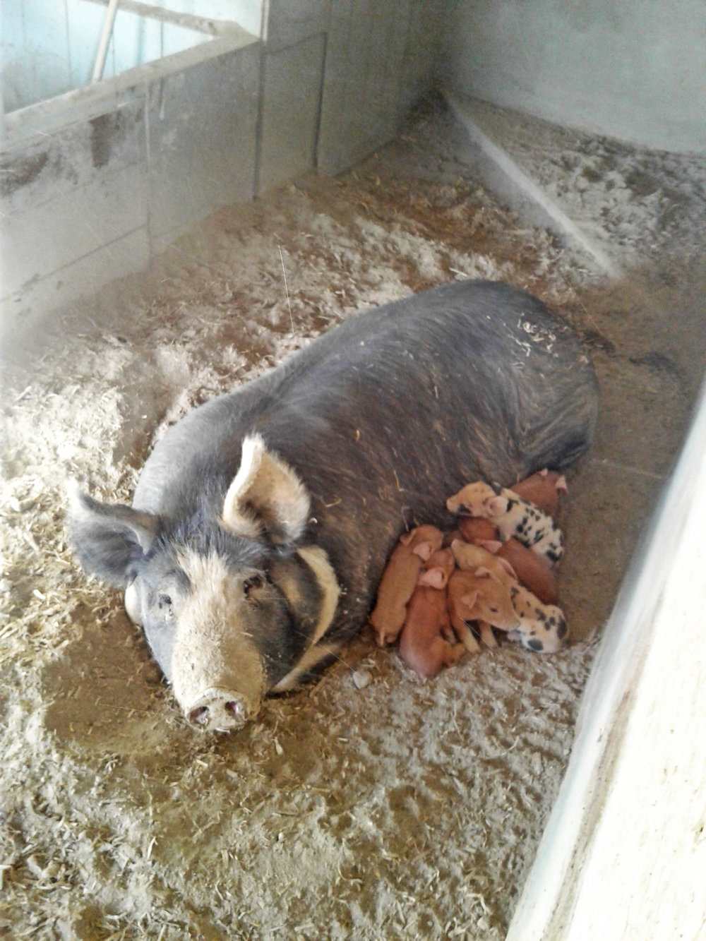 star-view-farms-pigs.jpg