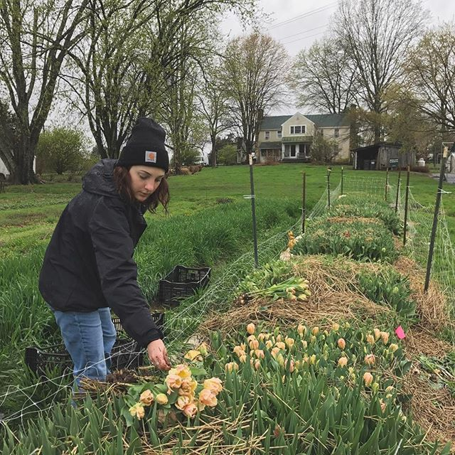 Harvesting tulips in the spring
