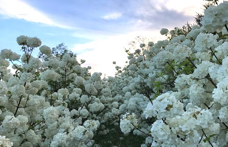 SPRING OPEN HOUSE! FREE ADMISSION - Welcome to Wollam Gardens! Come see what are up to; wander our rows of viburnum, peek into our growing houses, meet our crew and celebrate the start to a wonderful season!