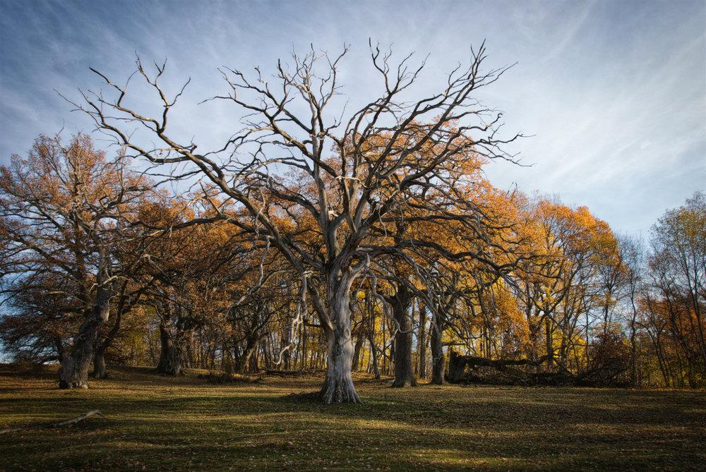 MSJ_2011_74_DSC_0482_Oak in Fall.jpg