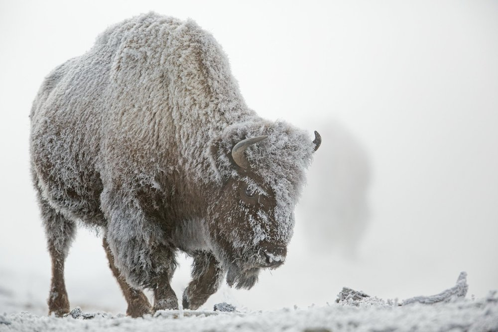 Ski amongst Yellowstone's wildest inhabitants.