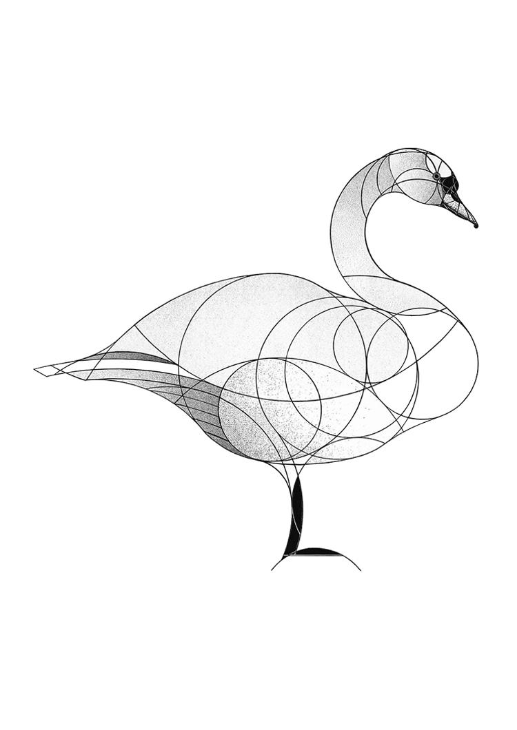 mute swan (2017)