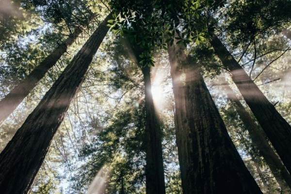 redwood-trees.jpg