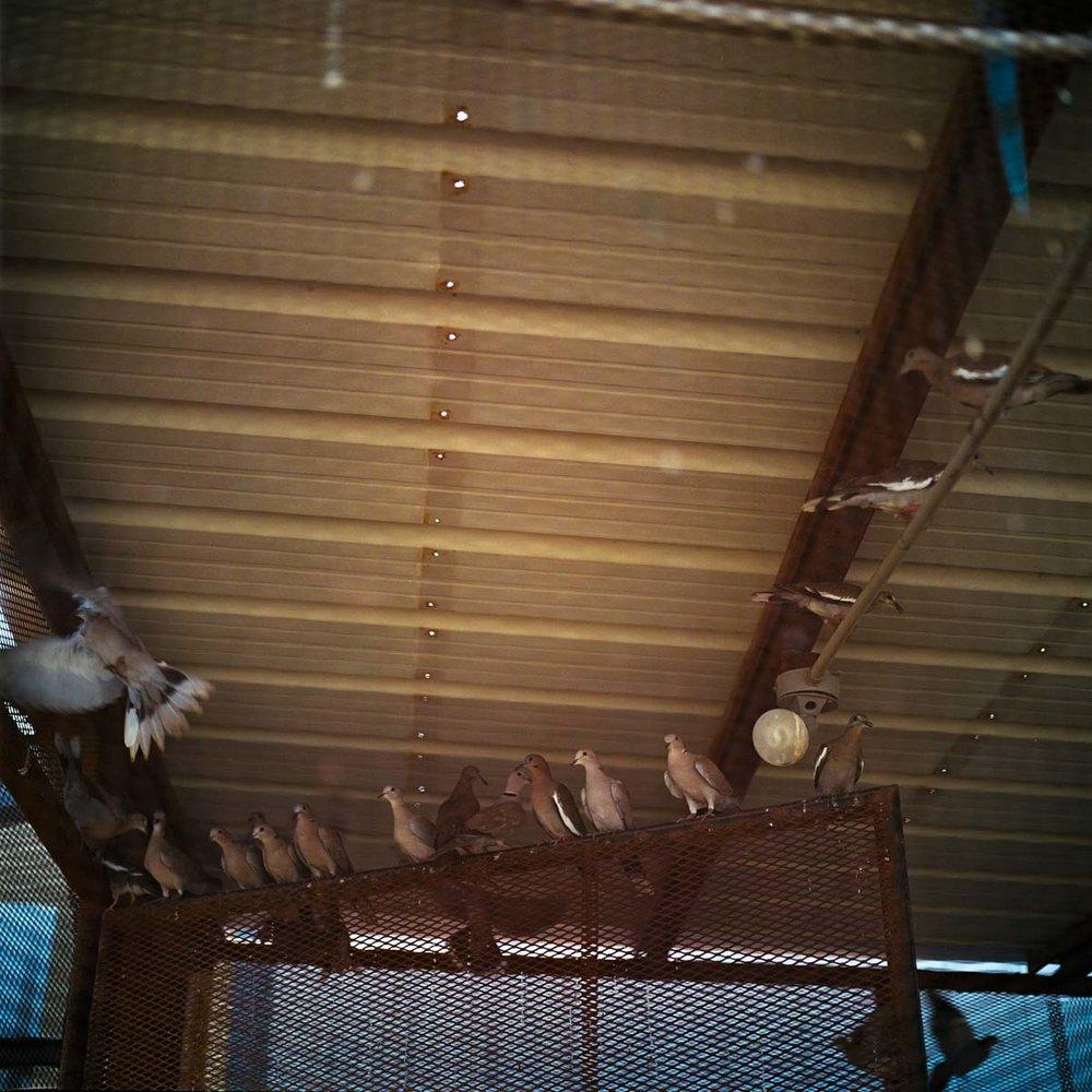 Deenas Pigeon Farm