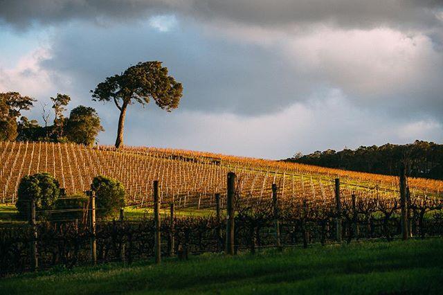 Winter vines @margaretriver 📷 #markboskell #margaretriver #justanotherdayinwa #westernaustralia