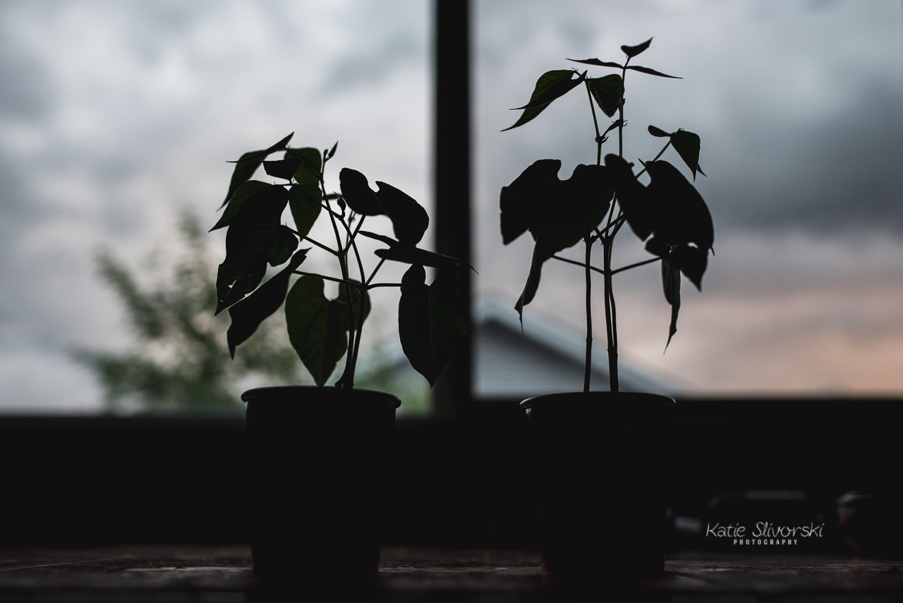 plants in front of an Edmonton storm cloud
