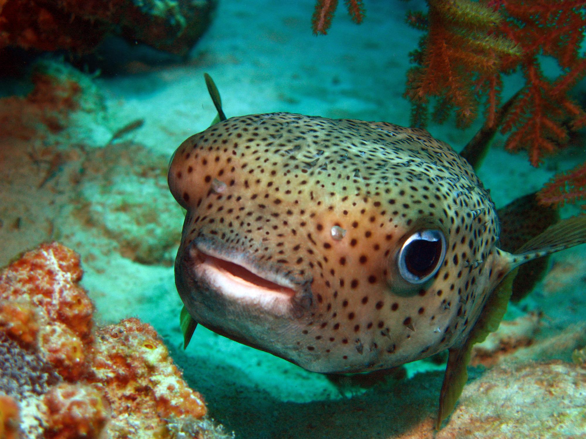 Puffer Fish.jpg