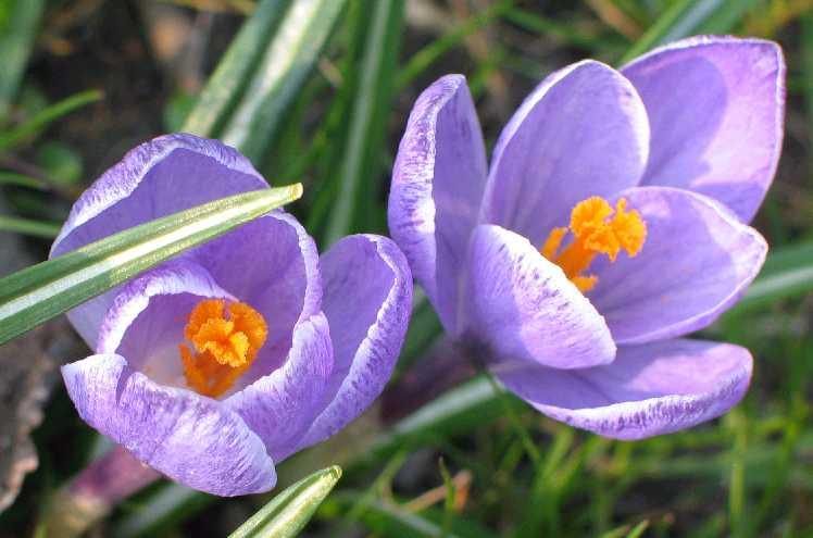 Saffron_Crocus_vernus_cultivar_two_flowers.jpg