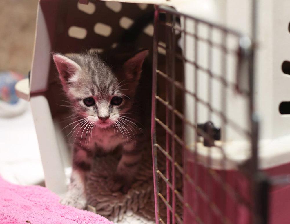 Gray-Kitten-3.jpg