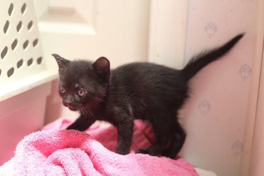 Black-Kitten-2.jpg