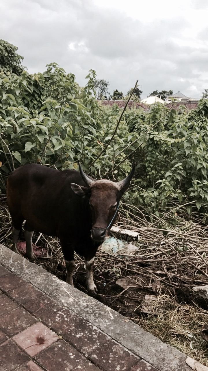 Random cow on Jl. Sunset Road