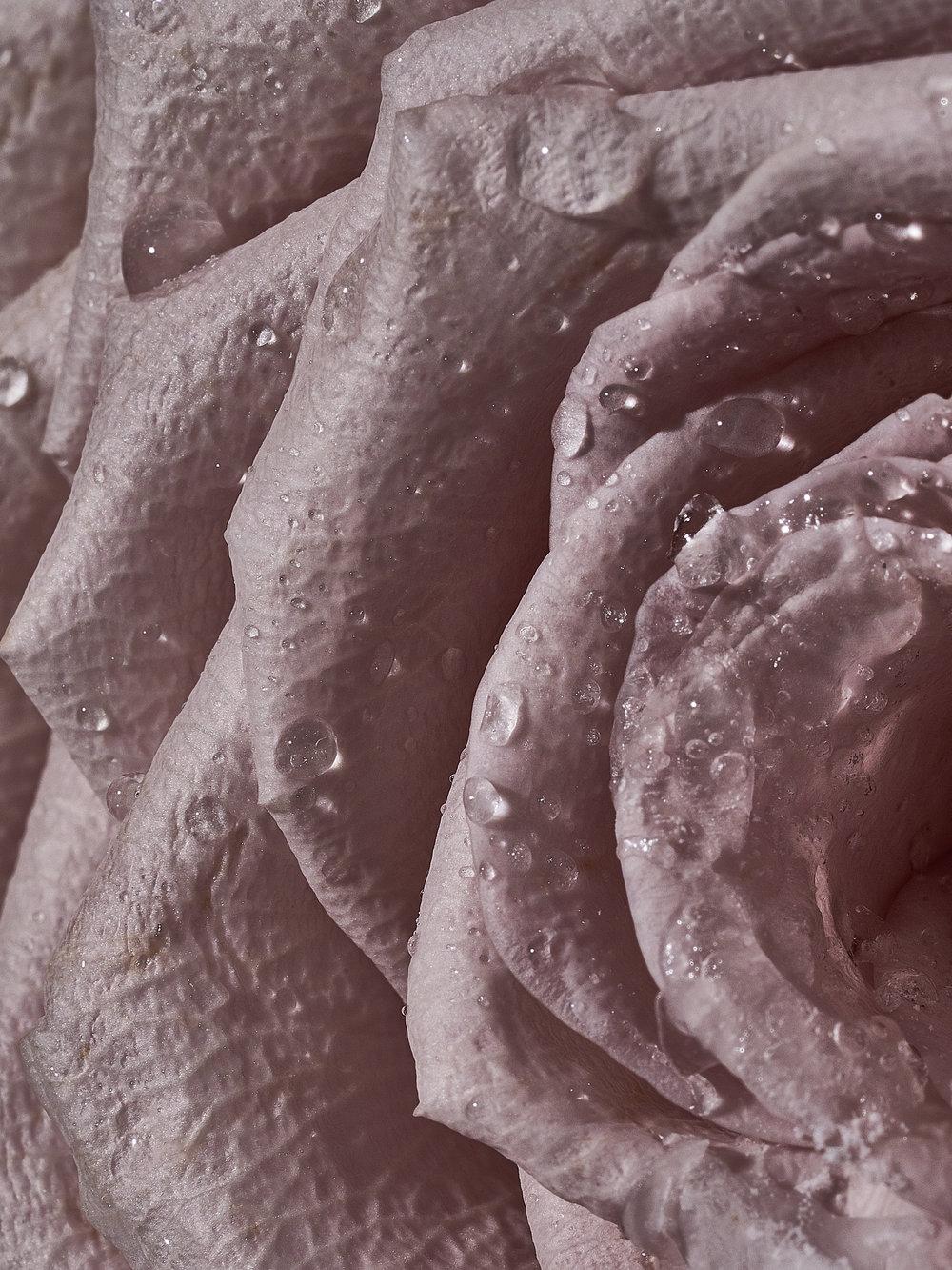 rosalie-roses-2018 (1 of 1).jpg