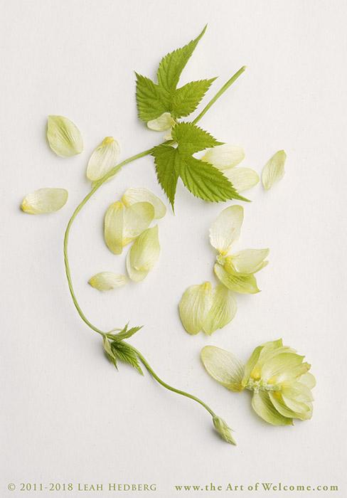 Hop_Blossom_and_Vine_201copyrightLHedberg_209080384_low_res.jpg