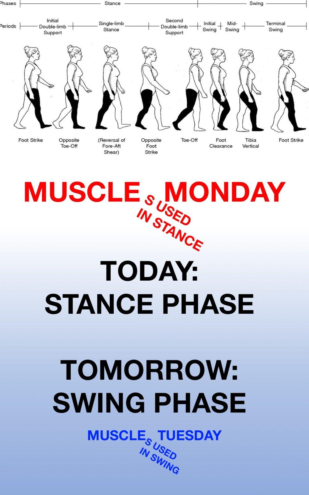 Gait Muscles03.jpg