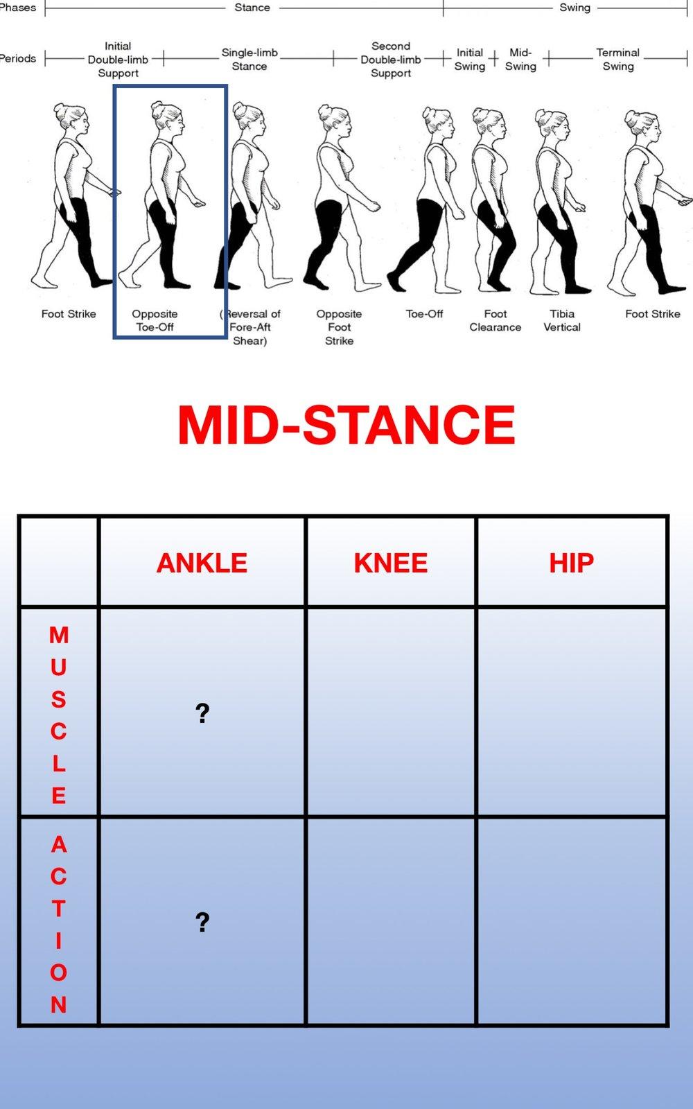 Gait Muscles10.jpg