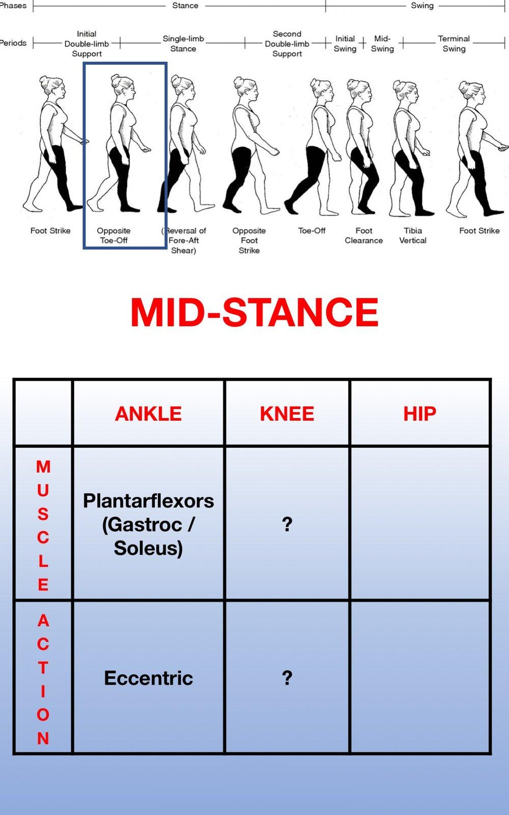 Gait Muscles11.jpg