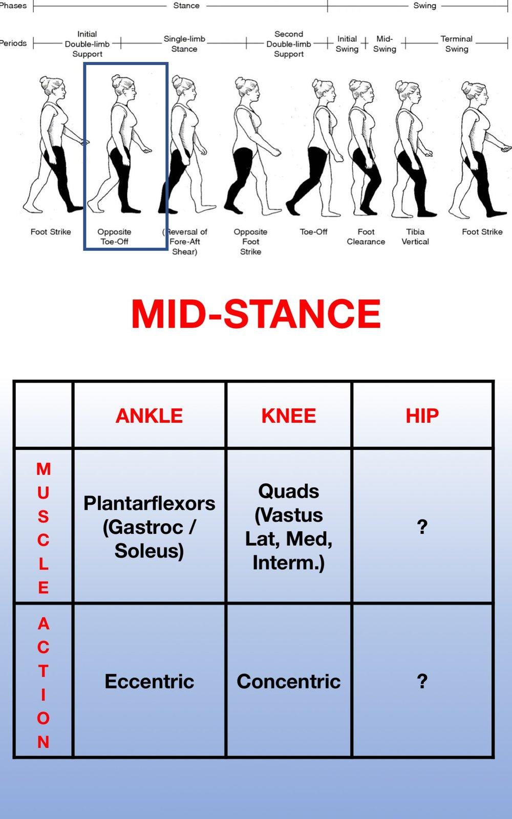 Gait Muscles12.jpg