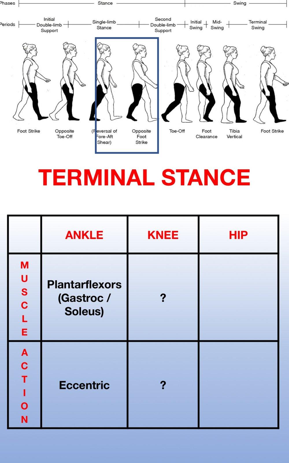 Gait Muscles15.jpg