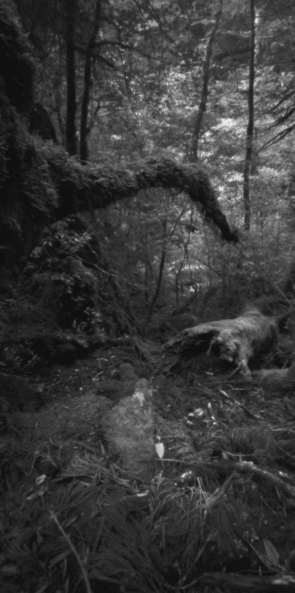 Rainforest, Kusugawa trail. Japan, Yakushima, 2015