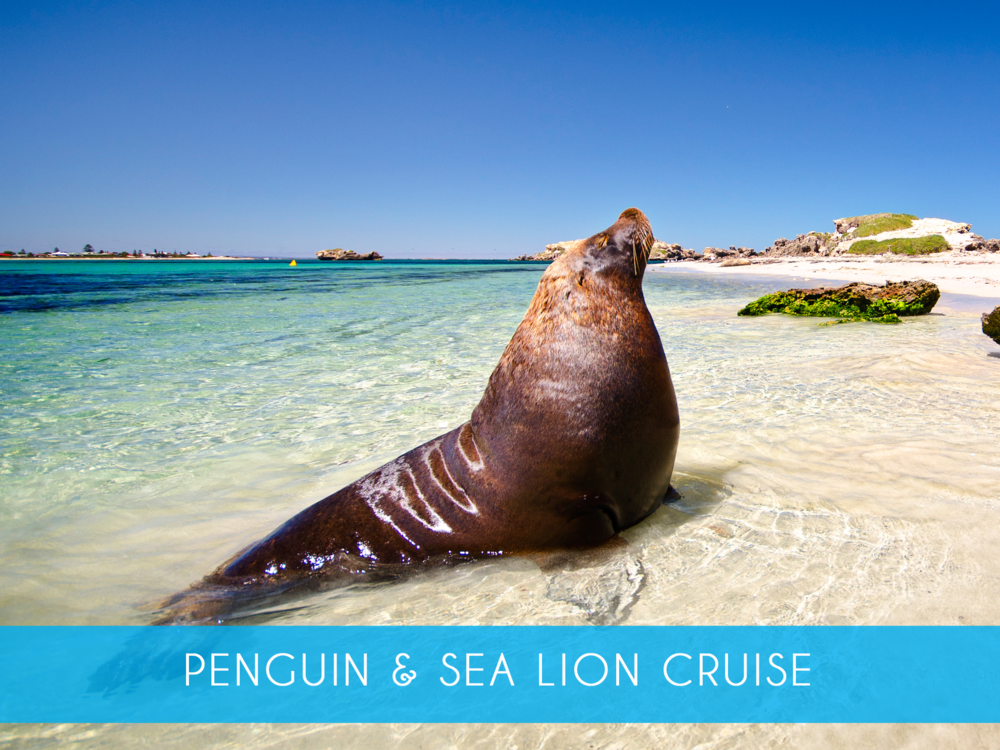 Penguin & Sea lion cruise Explore the islands and visit the sea lions on our 45 minute glass bottom boat cruise! Includes return ferry from Penguin Island Adults from $30 or $39 inc Penguin Feeding MORE INFO