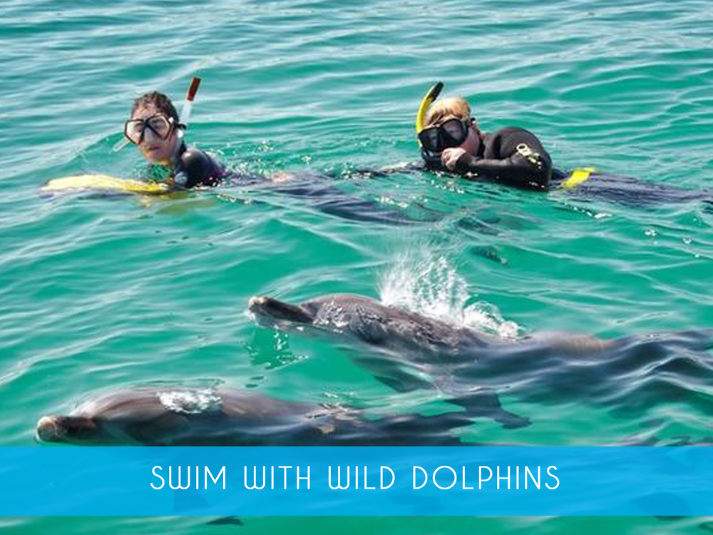 Swim with Wild Dolphins    Experience our amazing award winning encounter with wild dolphins in their natural environment! All equipment provided & novice snorkelers welcome!   Adults from $205   MORE INFO