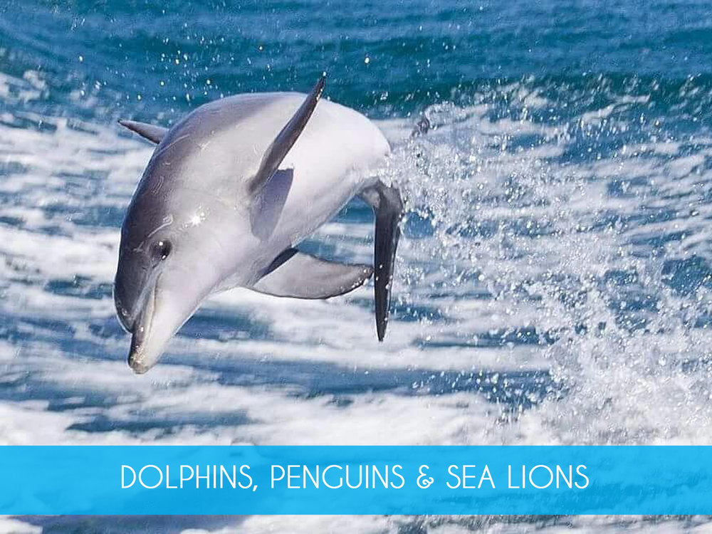 Adventure Cruise   Get up close with the dolphins & enjoy the exhilarating ride on our 90 minute Adventure Cruise. We also take in the spectacular islands, nesting sea birds & sea lions. Includes return ferry from Penguin Island.  Adults from $85 including Penguin Feeding  MORE INFO