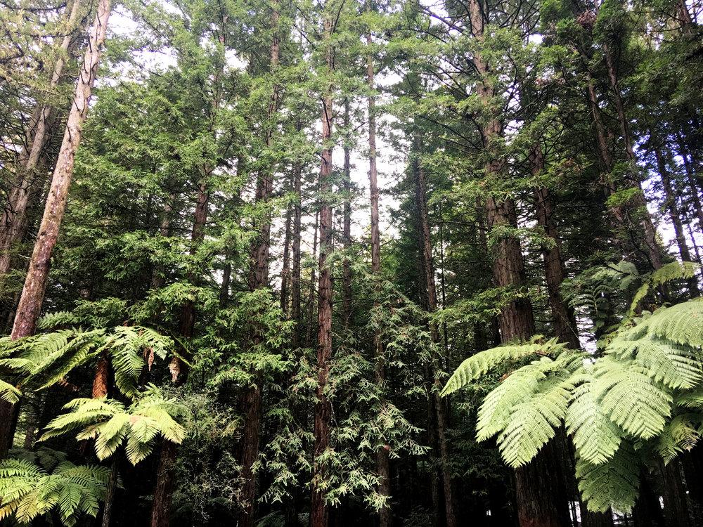 Redwoods – Whakarewarewa Forest