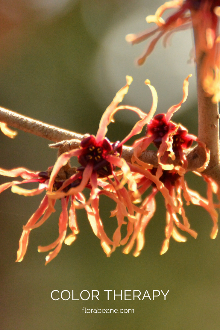 Witch hazel 'Jelena'  from Coastal Maine Botanical Gardens does the trick...shot on location, with my trusty Canon, just a few winters ago.