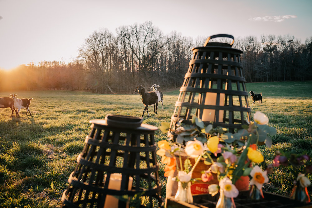 The goats wander in the sunset at the rustic styled engagement session with Rose Trail Images at Windy Hill Farm near Raleigh, NC.