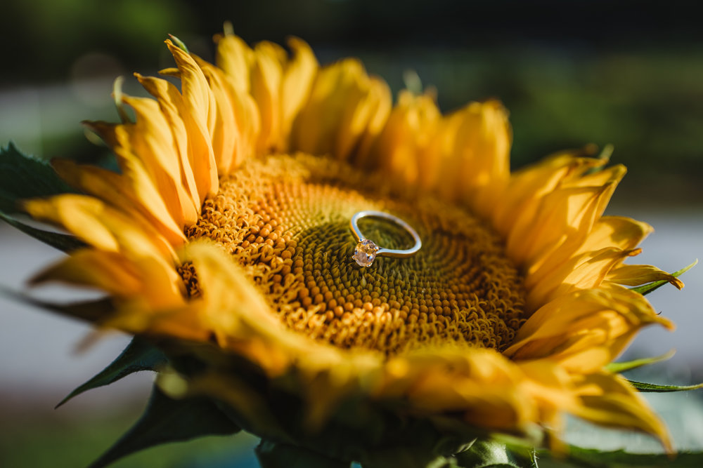 The bride's engagement ring sparkles in the sunflowers during their engagement pictures with Rose Trail Images at their family farm in Benson, North Carolina.