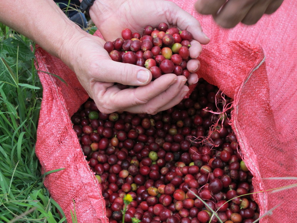 Fresh coffee cherries picked on Benita's farm. Photo credit: Brenda Leach.