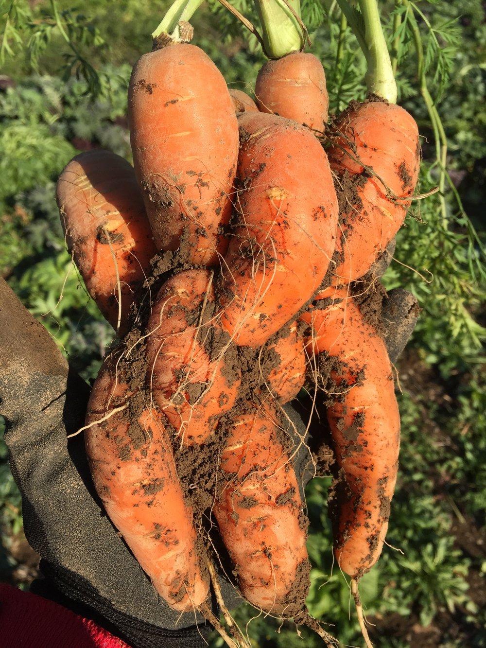 Tangled Carrots