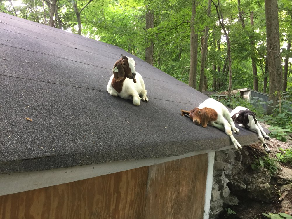 Glitter, Daphne and Alegria lounging on the roof