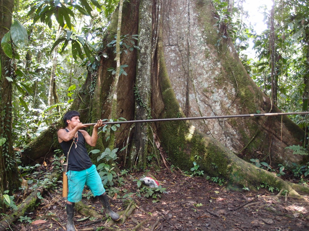 My Huaorani guide, Pegonka, in front of a ceiba tree, showing me how to shoot a blowgun. (I hit my target bromeliad on the first try... beginner's luck!)