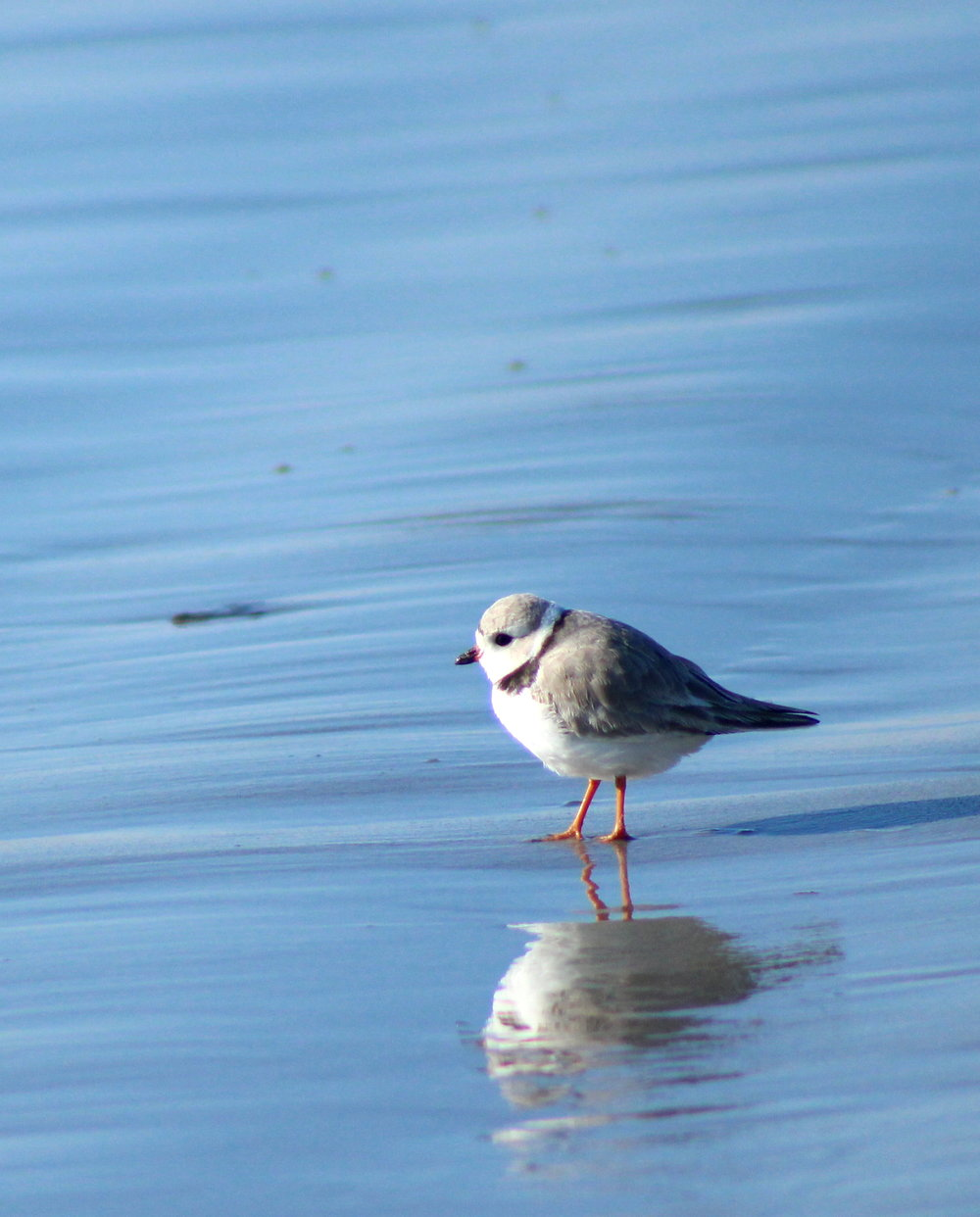 PIPING PLOVER__PIPL.JPG