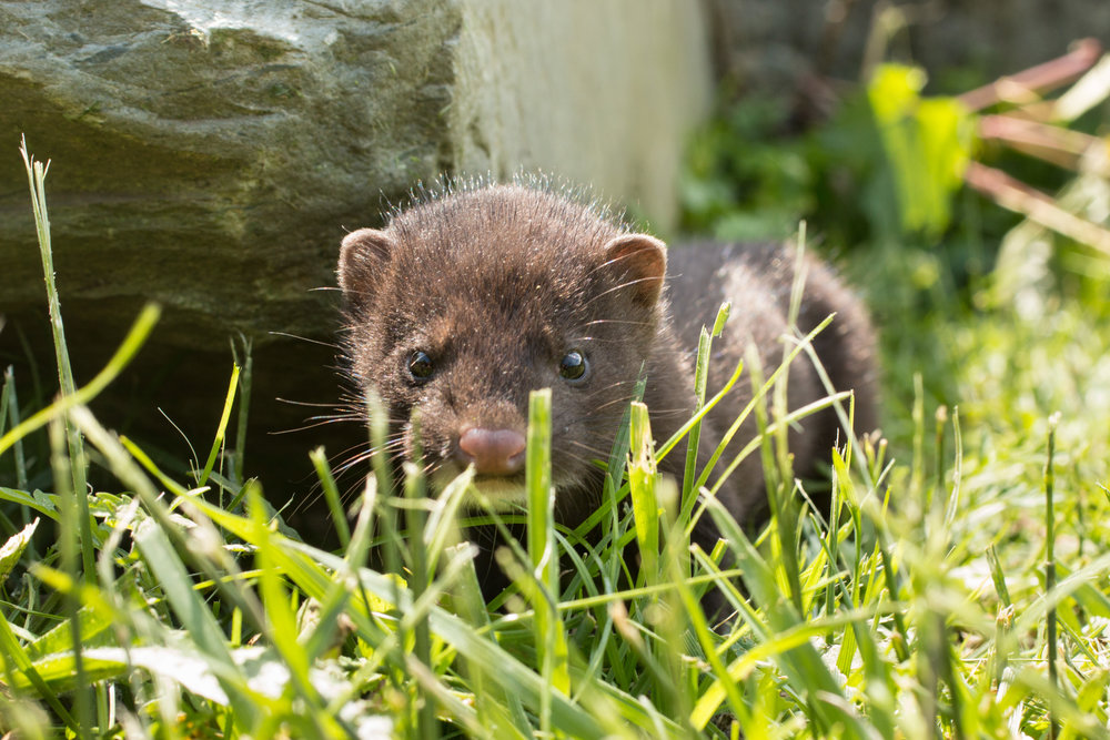 NBS Baby Mink Native Wildlife_Photo.jpg