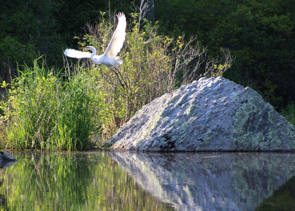 5-24-17 egret.JPG