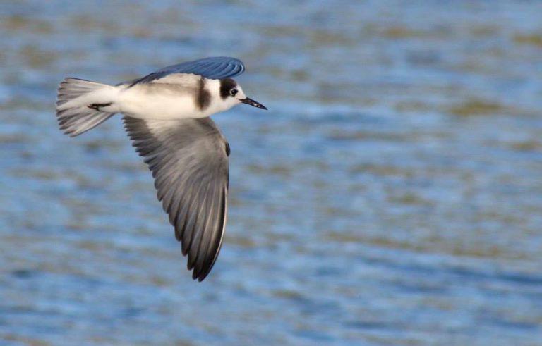 Black-Tern-1-768x491.jpg
