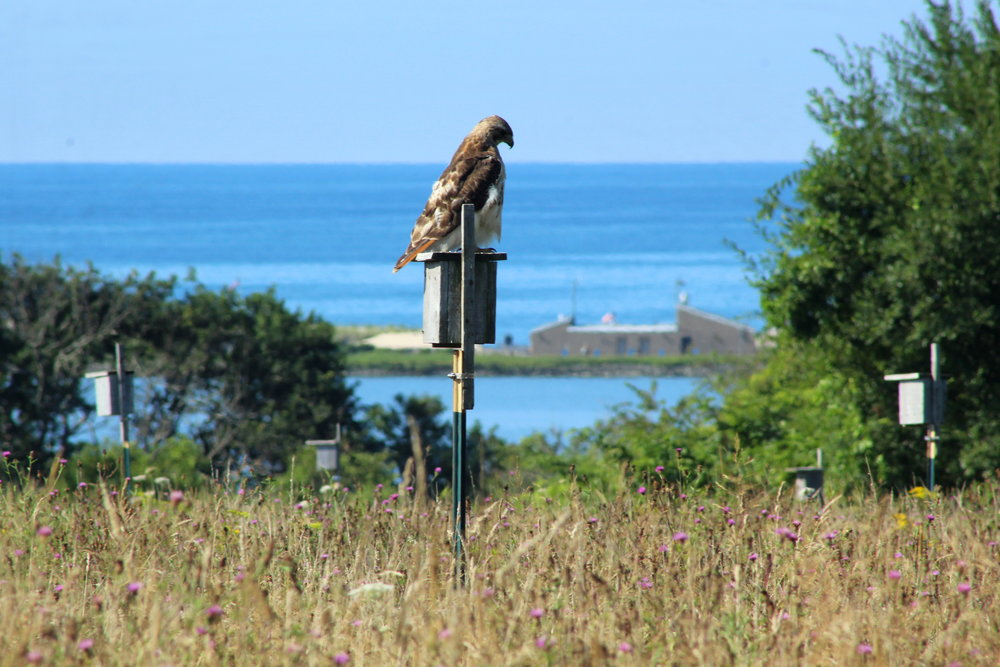 8-9-17 hawk on box.jpg